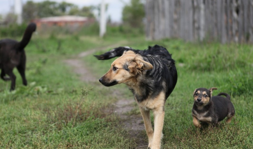 У Рівненському районі через сказ знищуватимуть лисиць, безпритульних  собак та котів